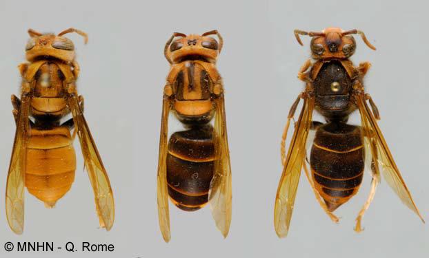 Trois spécimens de Vespa velutina des collections du Muséum national d'Histoire naturelle provenant de différentes îles d'Indonésie.