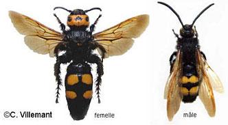 Megascolia maculata - C Villemant MNHN