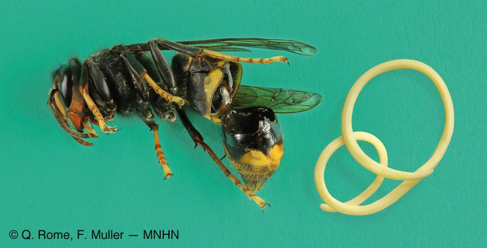 Vespa velutina et son parasite nématode Pheromermis.