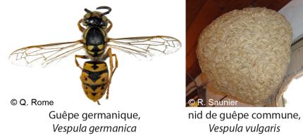 Vespula germanica-vulgaris - Q Rome MNHN